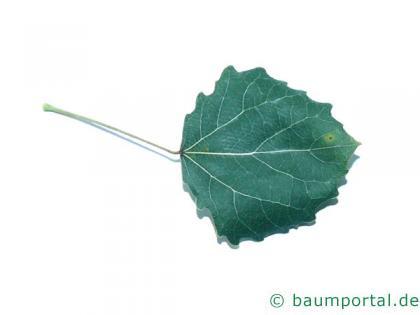 Zitter-Pappel (Populus tremula) Blatt