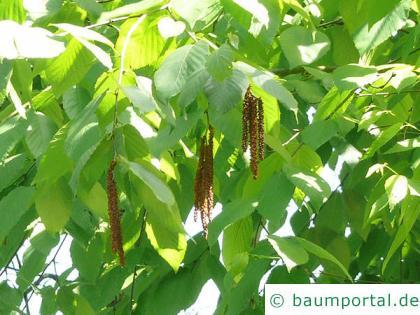 Zucker-Birke (Betula lenta) Zweig