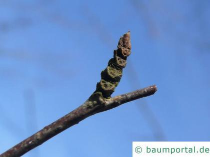 Zucker-Birke (Betula lenta) Endknospe