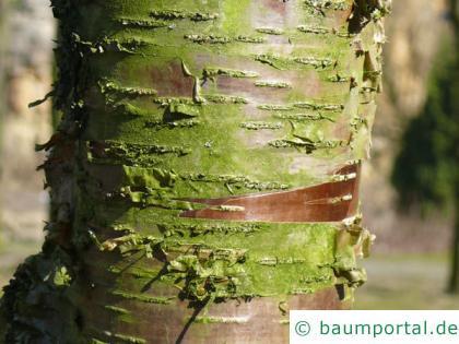 Zucker-Birke (Betula lenta) Stamm