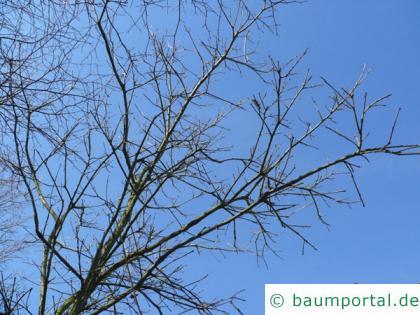 zweifarbige Eiche (Quercus bicolor) Krone im Winter