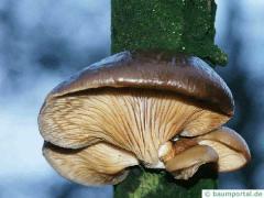Austernseitling (Pleurotus ostreatus) Unterseite