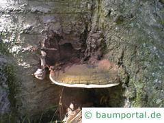 Flacher Lackporling mit roten Sporen