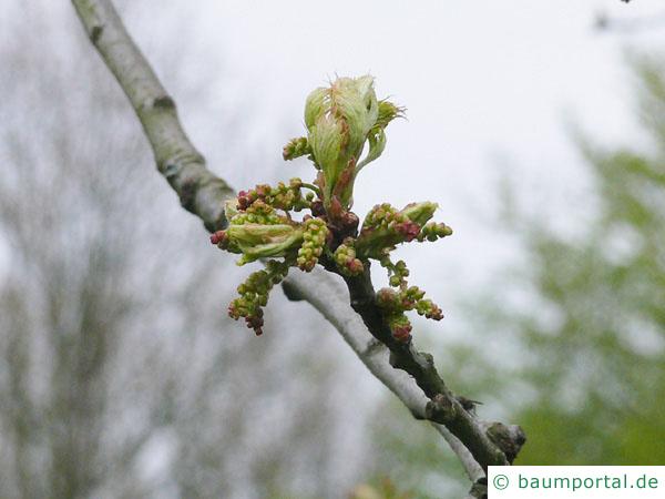 Sumpf-Eiche (Quercus palustis) im Austrieb