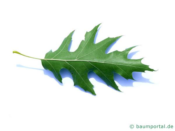 Sumpf-Eiche (Quercus palustis) Blatt Unterseite