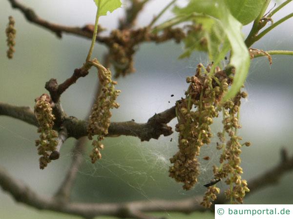 Sumpf-Eiche (Quercus palustis) Blüte