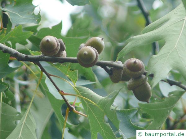 Sumpf-Eiche (Quercus palustis) Frucht / Eichel