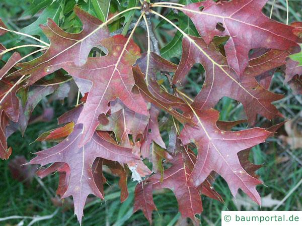 Sumpf-Eiche (Quercus palustis) Herbstfärbung der Blätter