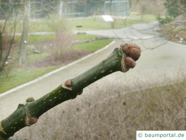 Texas-Esche (Fraxinus texensis) Endknospe
