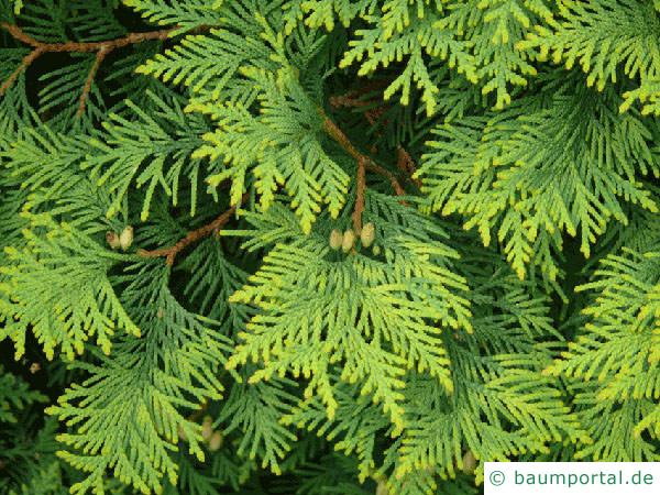 Thuja (Thuja occidentalis) Zweige