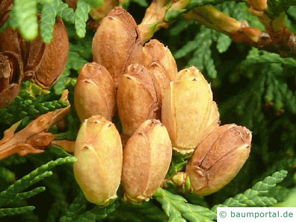 Thuja (Thuja occidentalis) Zapfen