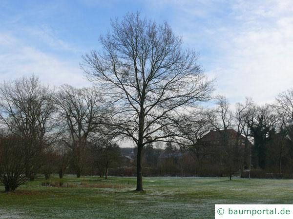 Trauben-Eiche (Quercus petraea) Baum im Winter