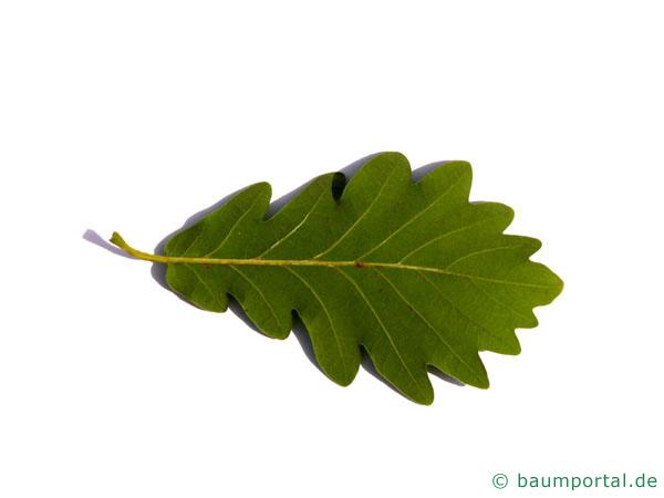 Trauben-Eiche (Quercus petraea) Blatt Unterseite