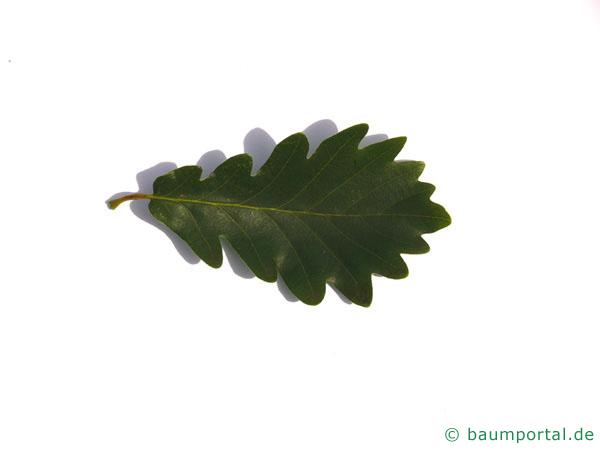 Trauben-Eiche (Quercus petraea) Blatt
