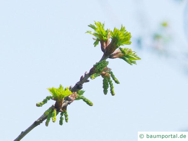 Trauben-Eiche (Quercus petraea) Blüte