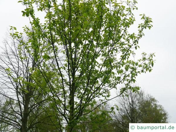 Trauben-Kirsche (Prunus padus) Baum