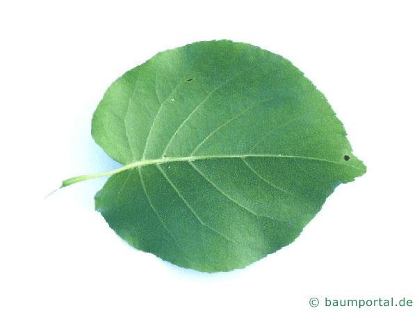 Trauben-Kirsche (Prunus padus) Blattunterseite