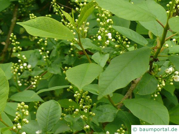 Trauben-Kirsche (Prunus padus) Blätter und Blütenknospen