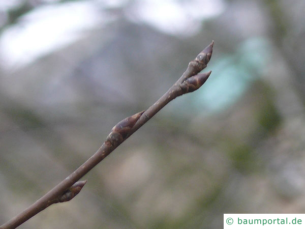 Trauben-Kirsche (Prunus padus) Knospe