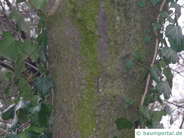 Trauben-Kirsche (Prunus padus) Stamm / Borke / Rinde