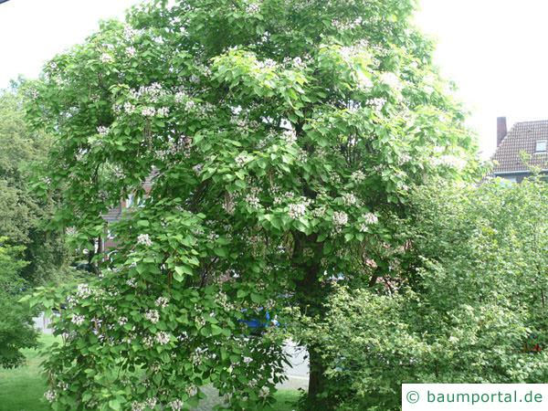 Trompetenbaum (Catalpa bignonioides) Baum im Sommer