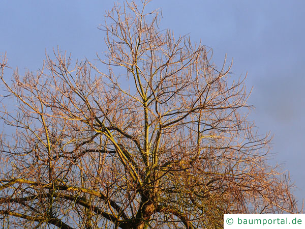 Trompetenbaum (Catalpa bignonioides) Krone im Winter