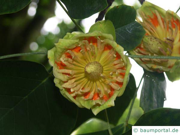 Tulpenbaum (Liriodendron tulipifera) Blüte