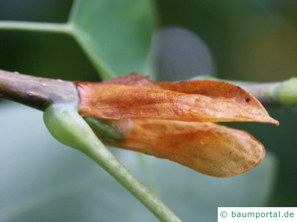 Tulpenbaum (Liriodendron tulipifera) Kelchblatt