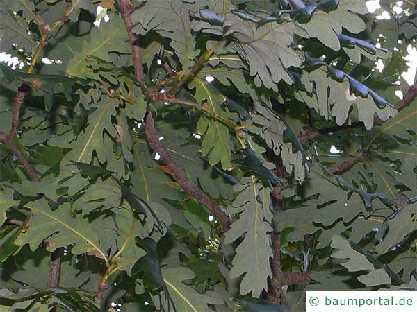 Ungarische Eiche (Quercus fainetto) Blätter