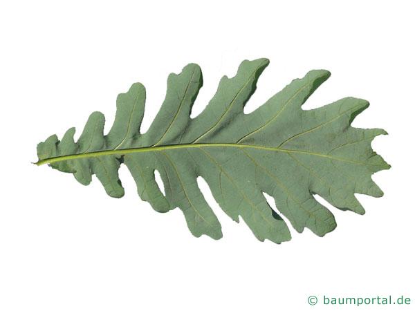 Ungarische Eiche (Quercus fainetto) Unterseite Blatt