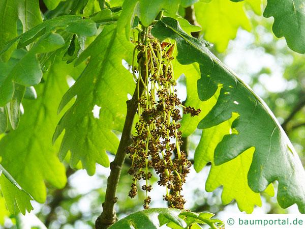 Ungarische Eiche (Quercus fainetto) Blüte