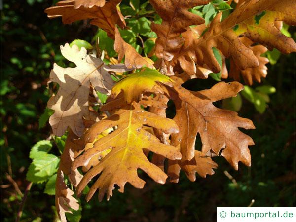 Ungarische Eiche (Quercus fainetto) Herbstfärbung der Blätter