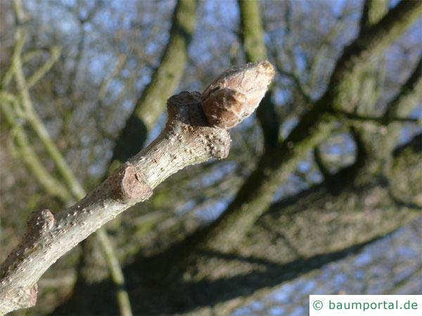 Ungarische Eiche (Quercus fainetto) Knospe