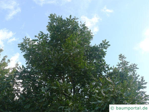Ungarische Eiche (Quercus fainetto) Baumkrone