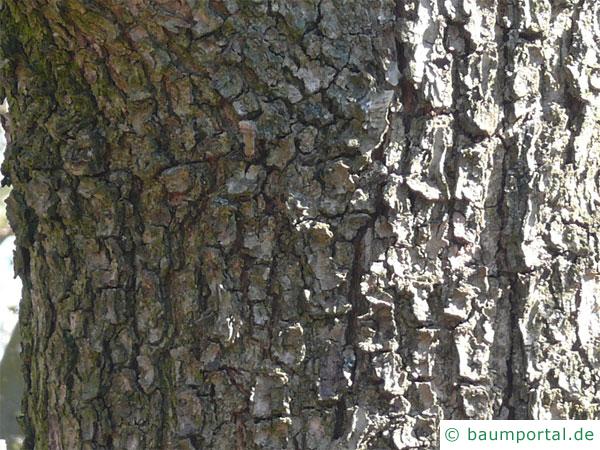 Ungarische Eiche (Quercus fainetto) Stamm / Rinde / Borke
