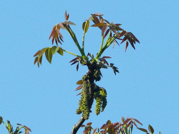 Walnuss (Juglans regia) Blüte