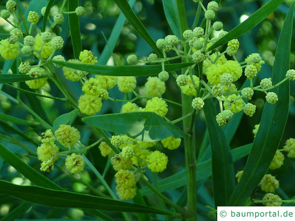 Wasser-Akazie (Acacia retinodes) Blüte