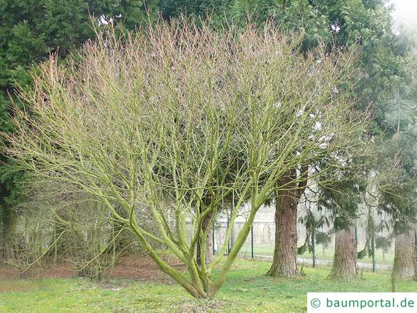 Wein-Ahorn (Acer circinatum) Baum im Winter