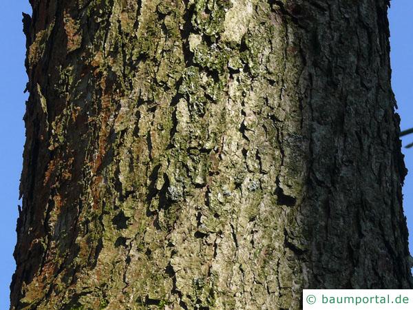 Weiß-Eiche (Quercus alba) Stamm / Rinde / Borke