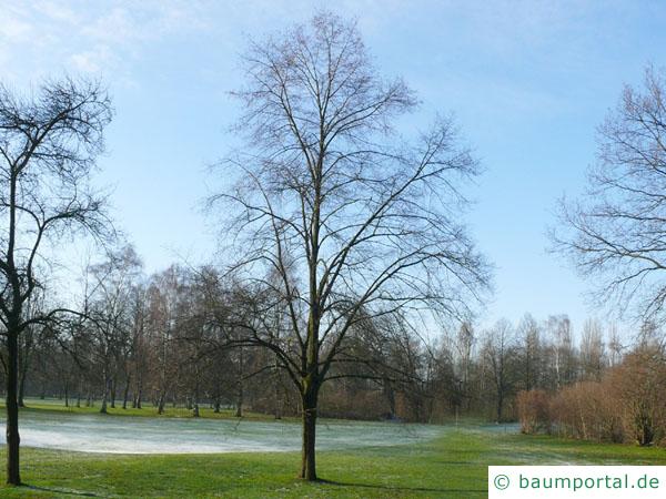 Winter-Linde (Tilia cordata) Baum im Winter