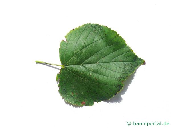 Winter-Linde (Tilia cordata) Blatt