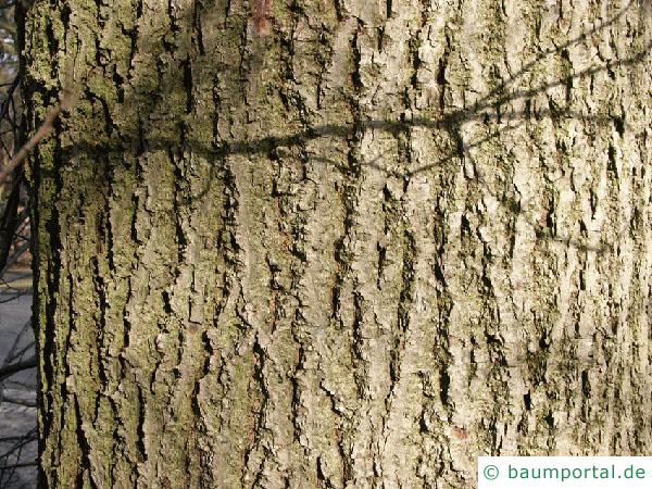 Winter-Linde (Tilia cordata) Stamm / Borke / Rinde