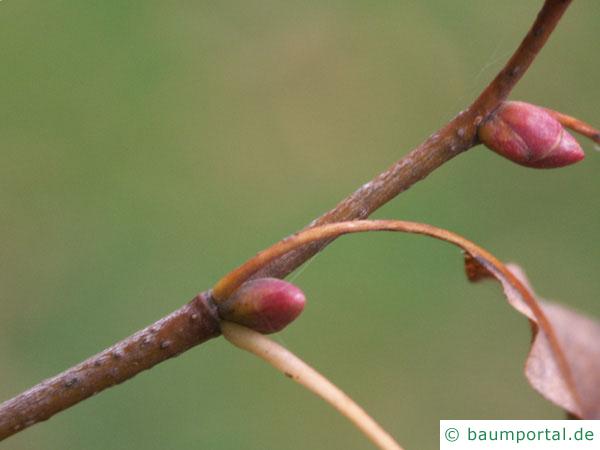 Winter-Linde (Tilia cordata) Zweig