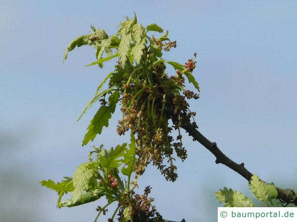 Zerr-Eiche (Quercus cerris) Blüten