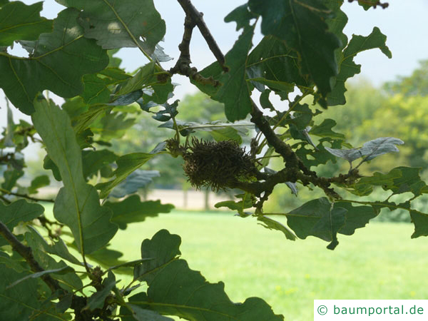 Zerr-Eiche (Quercus cerris) Eicheln und Blätter