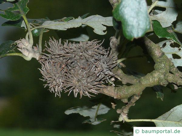 Zerr-Eiche (Quercus cerris) Frucht / Eicheln