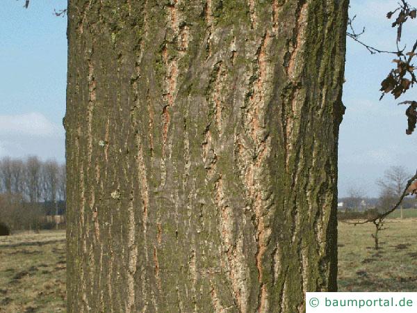 Zerr-Eiche (Quercus cerris) Stamm / Rinde / Borke