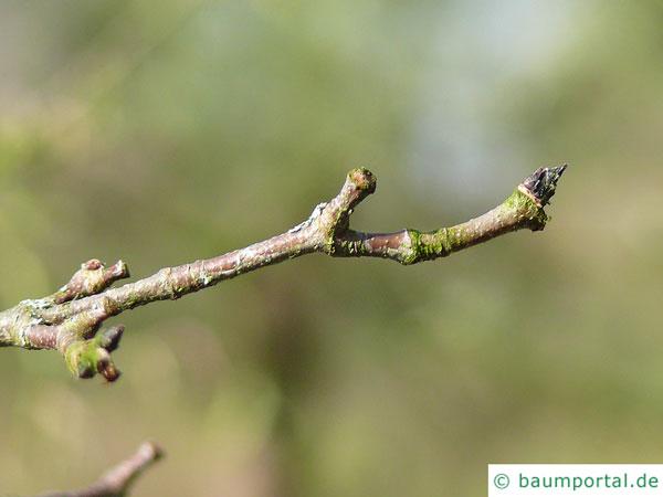 Zimt-Ahorn (Acer griseum) Zweig im Winter