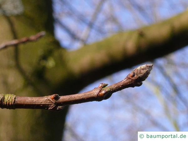 Zucker-Ahorn (Acer saccharum) Knospen im Winter