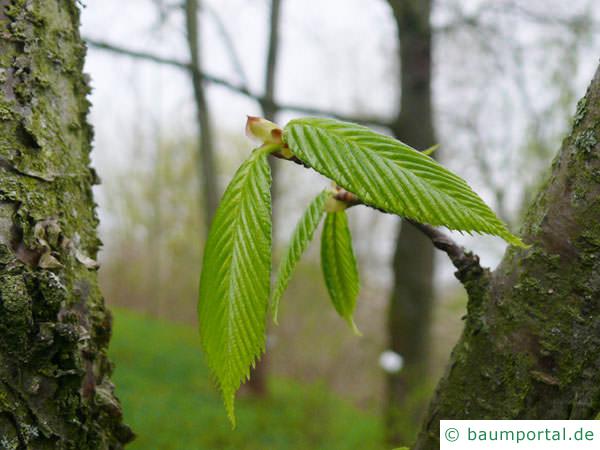 Zucker-Birke (Betula lenta) Austrieb